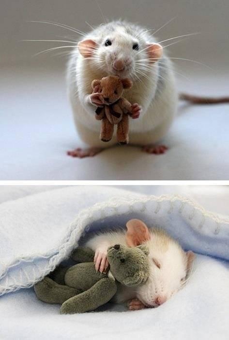 Картинки с крысой прикольные, днем