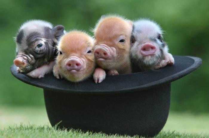 картинки про новый год свиньи прикольные