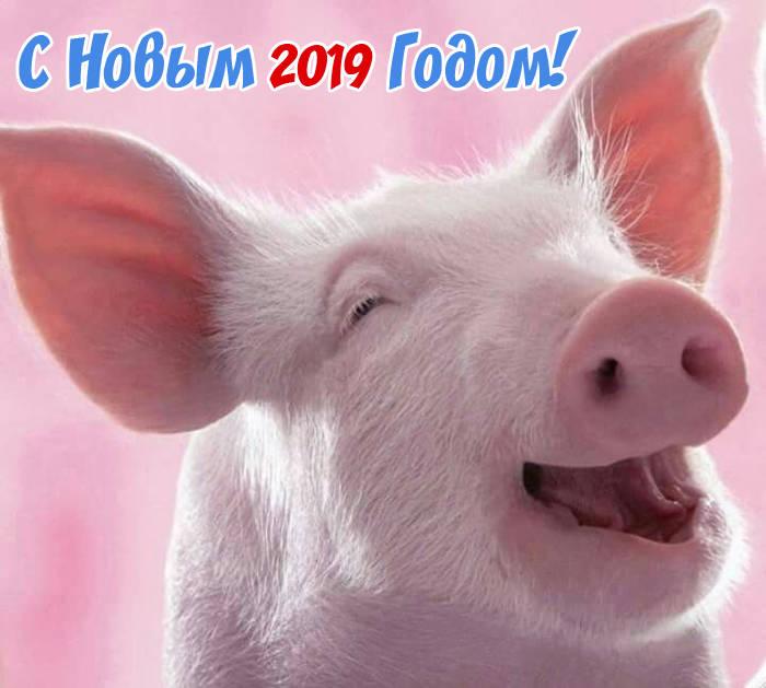 Прикольные картинки свиньи к Новому 2019 году
