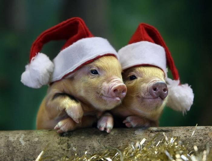 ПРикольные картинки с Новым годом свиньи скачать