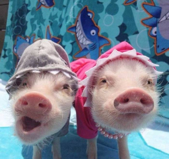 ПРикольные картинки с Новым годом свиньи 2019 скачать