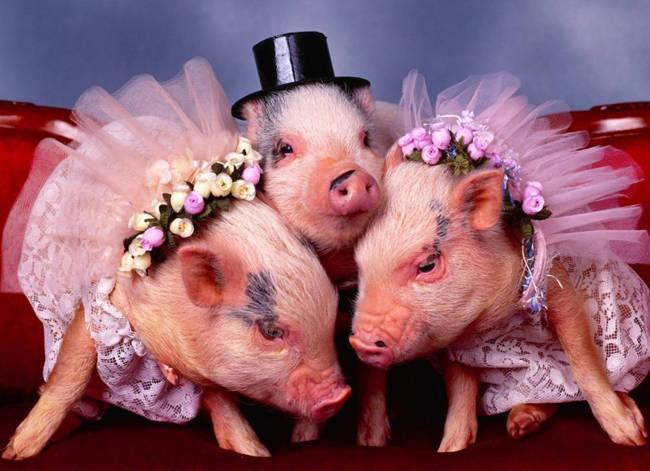 Картинки прикольные свиньи скачать