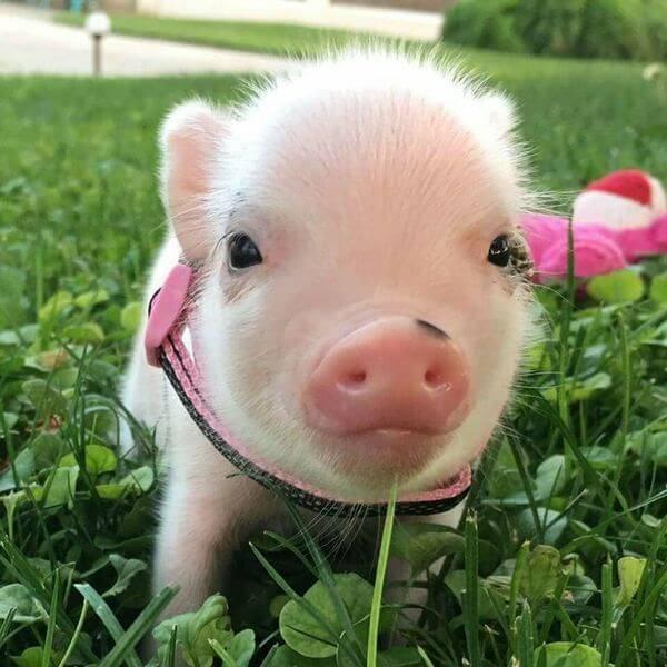 Прикольные картинки свиньи к Новому 2019 году скачать
