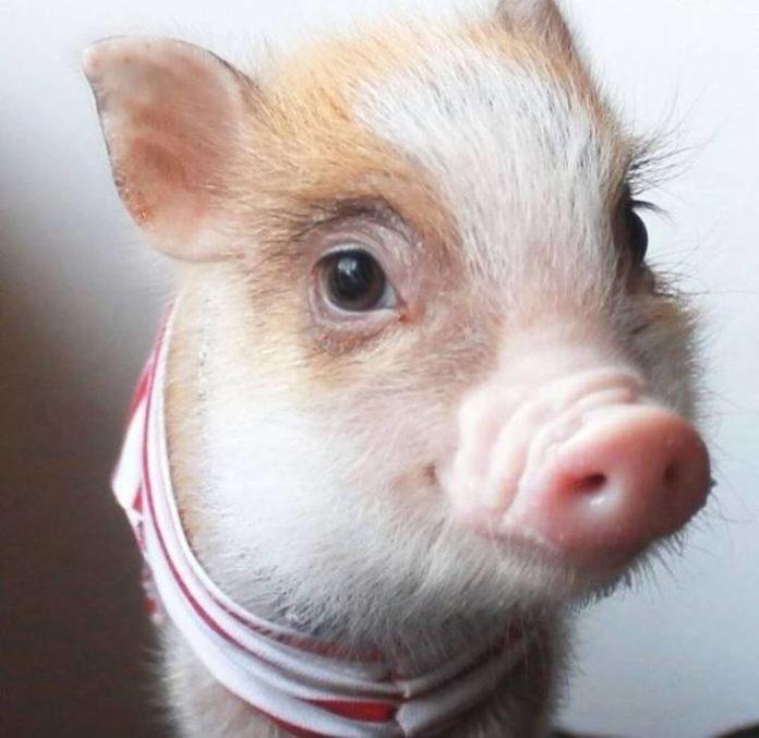 обусловлено свинюшка картинки забавные эти