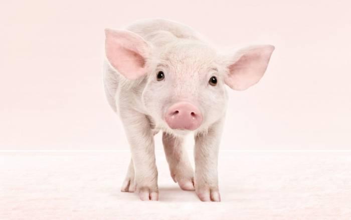 ПРикольная свинка картинки к Новому году