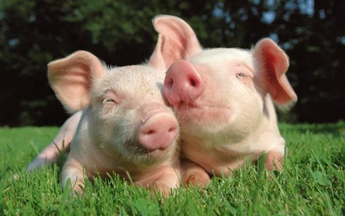 Прикольные свиньи картинки к Новому году