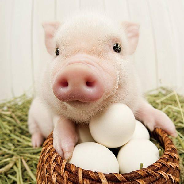 Прикольные свиньи картинки к Новому году бесплатно